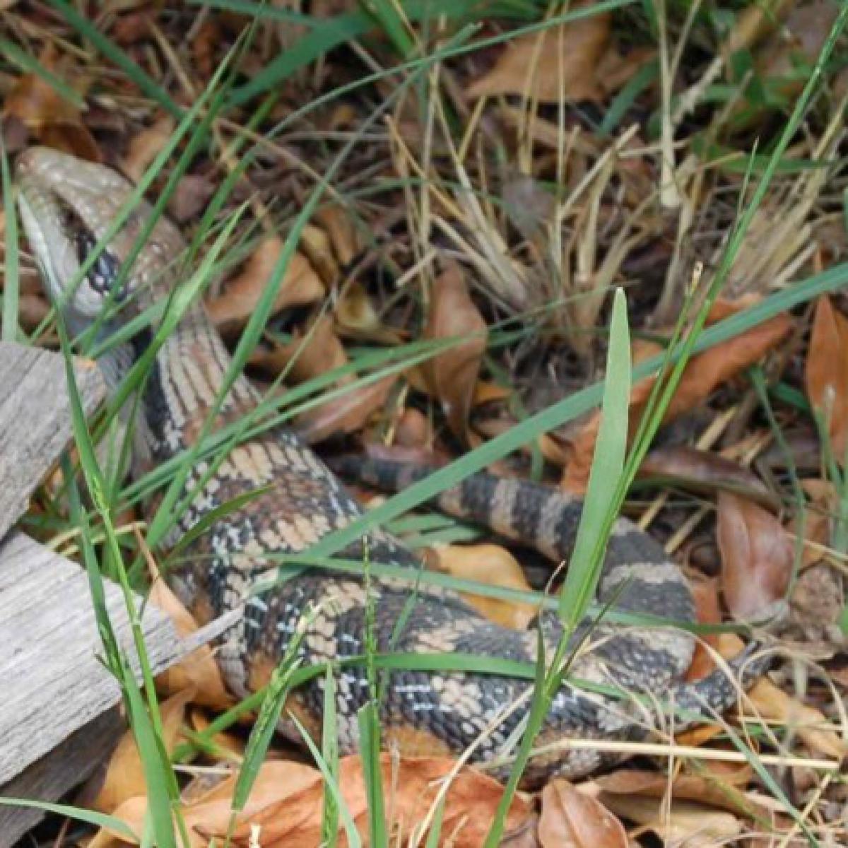 Eastern Blue-tongued Lizard