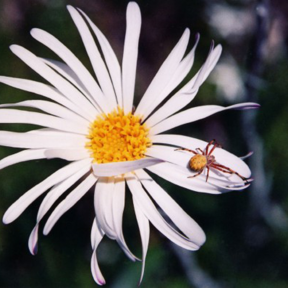 Snow Daisy and spider - Mt Gingera