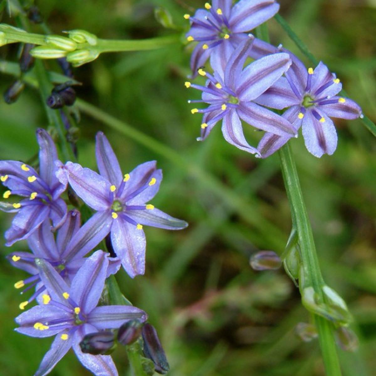 Blue Grass Lily
