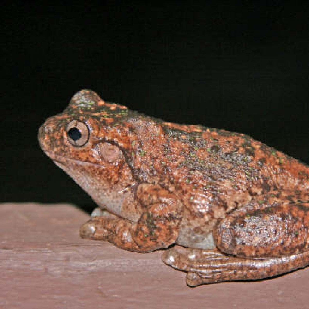 Peron's Tree Frog #2