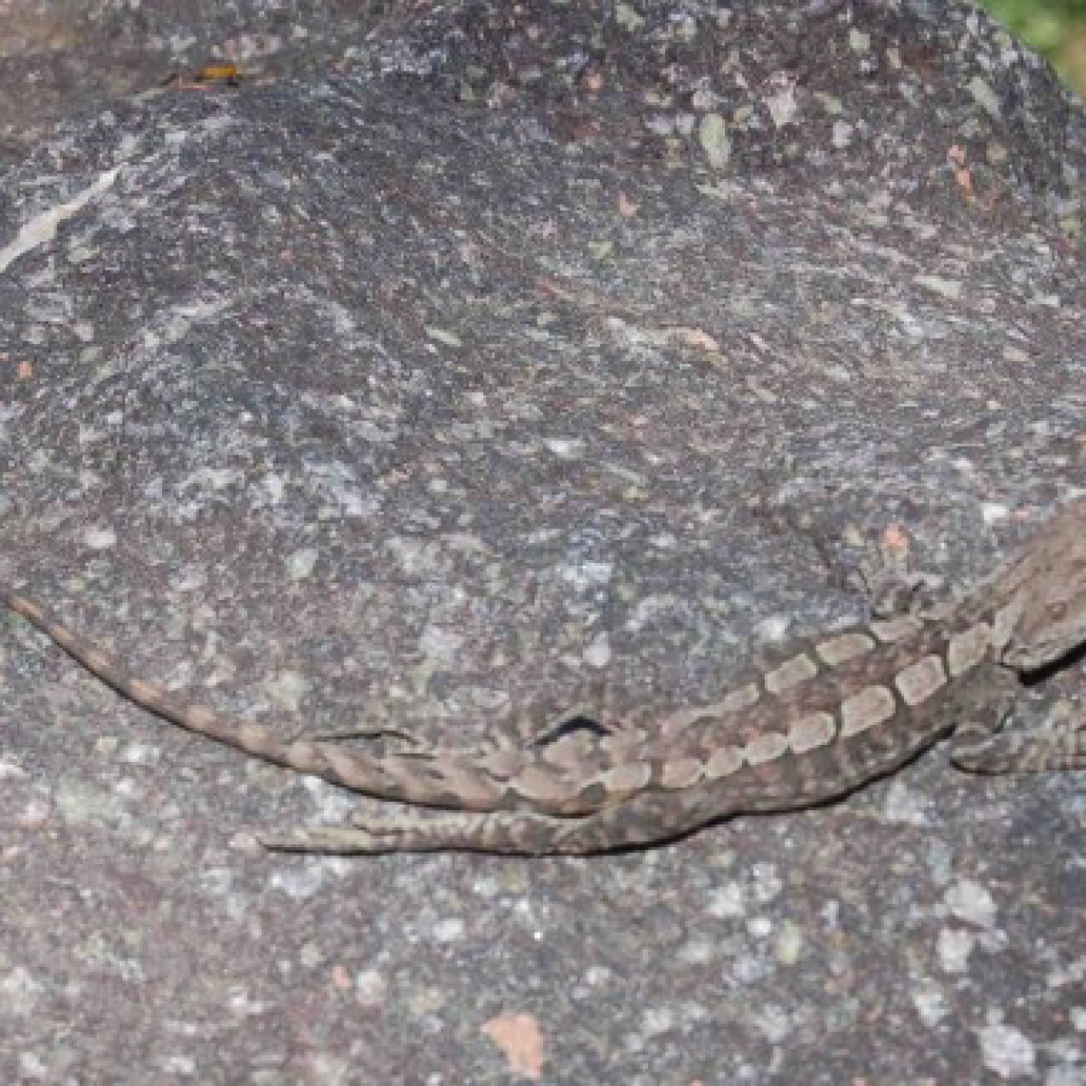 Tree Dragon or Jacky Lizard (Amphibolurus muricatus)