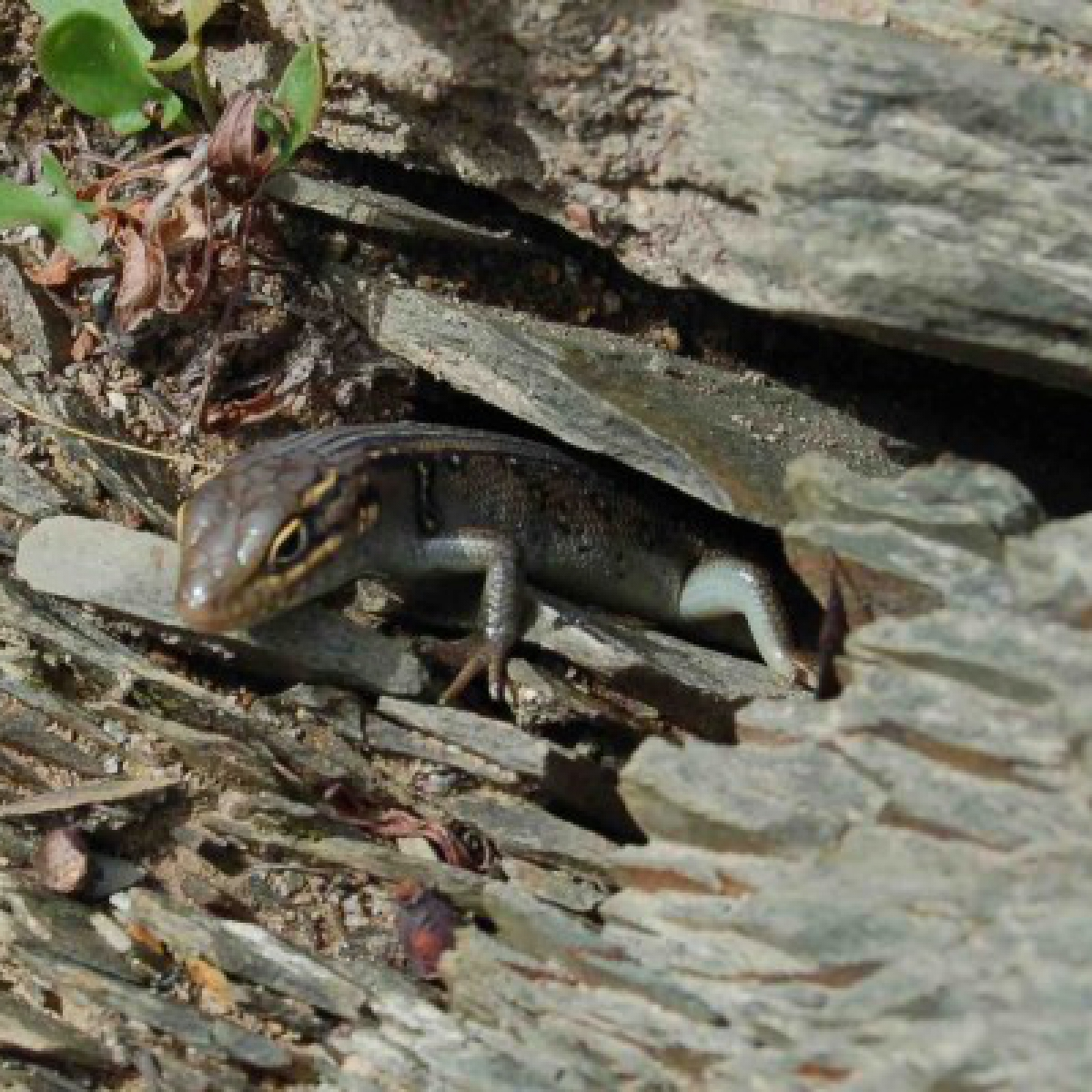 White's skink (Liopholis whitii)