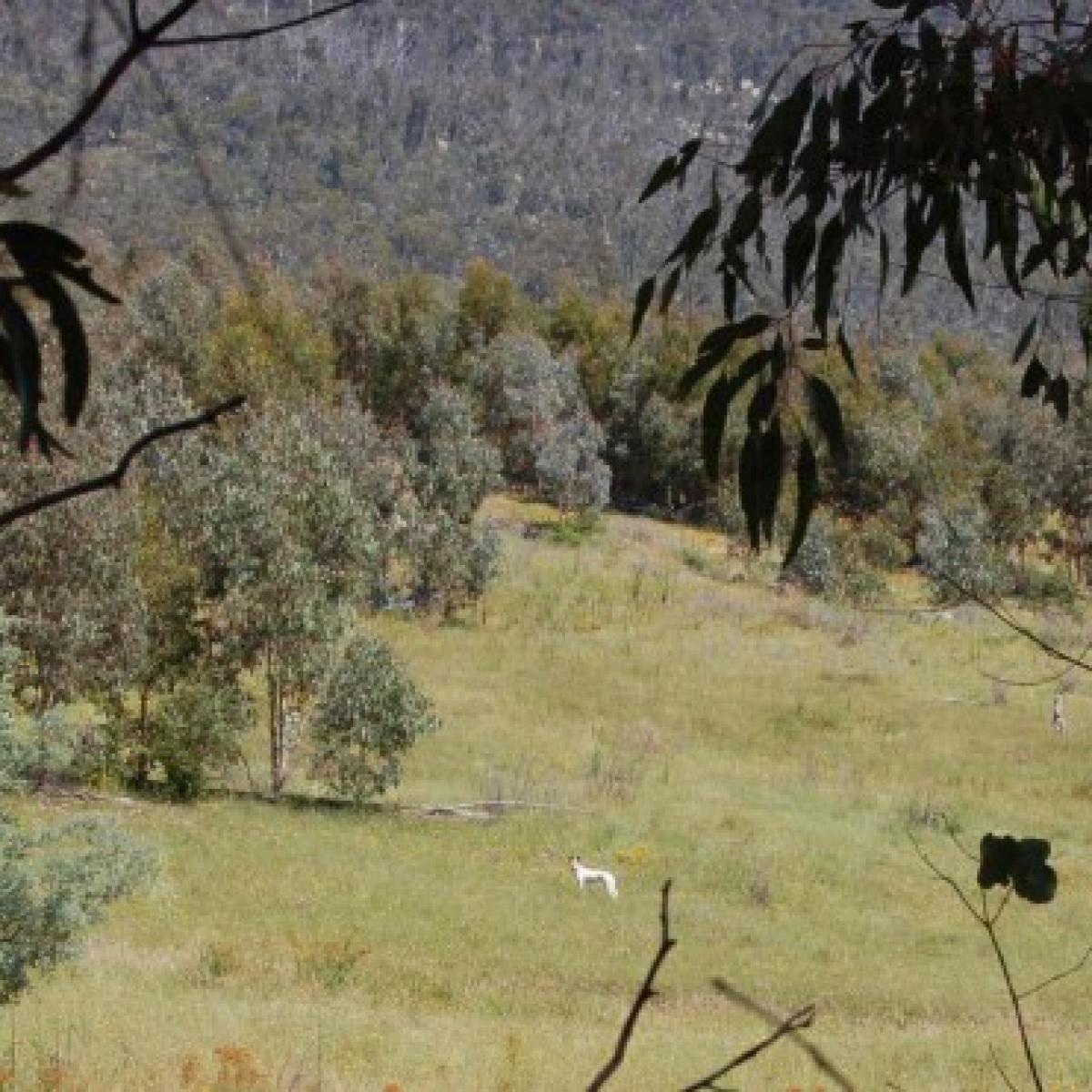 Dingo (Canis lupus dingo) or Warrigal