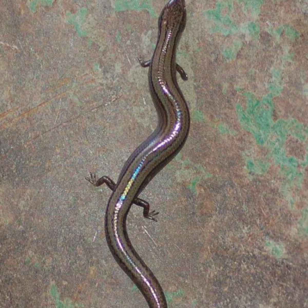 Three-toed skink