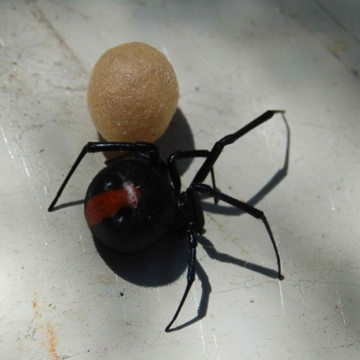 Red-backed Spider (Latrodectus hasselti)