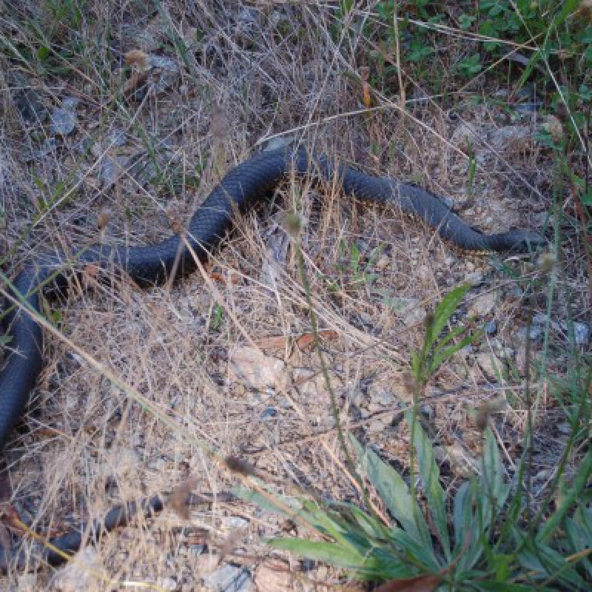 Mainland Tiger snake (Notechis scutatus)