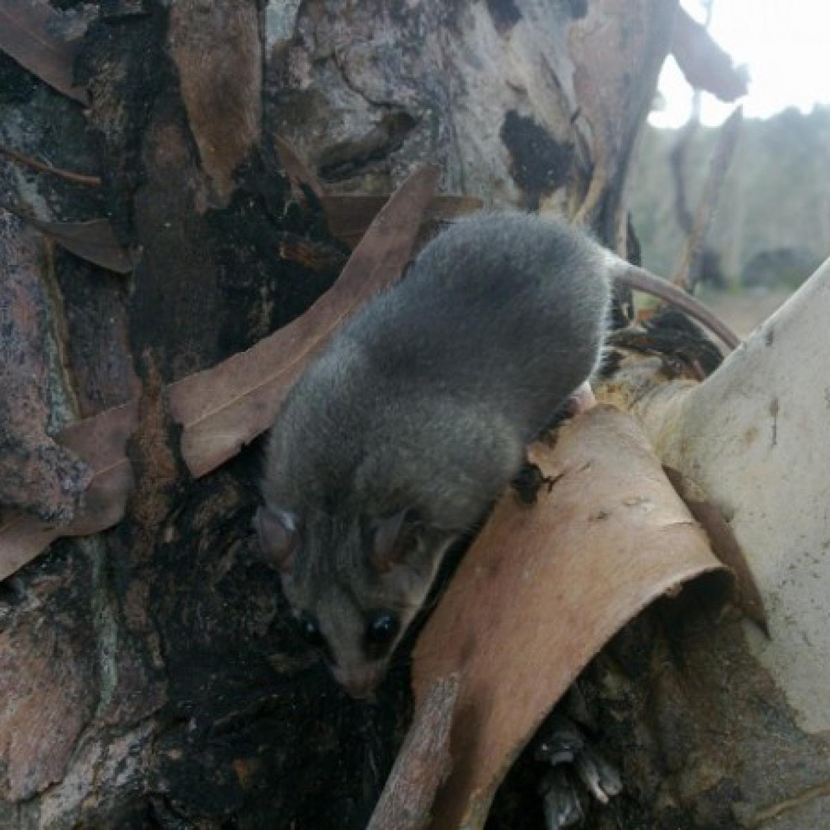 Eastern Pygmy Possum (Cercartetus nanus)