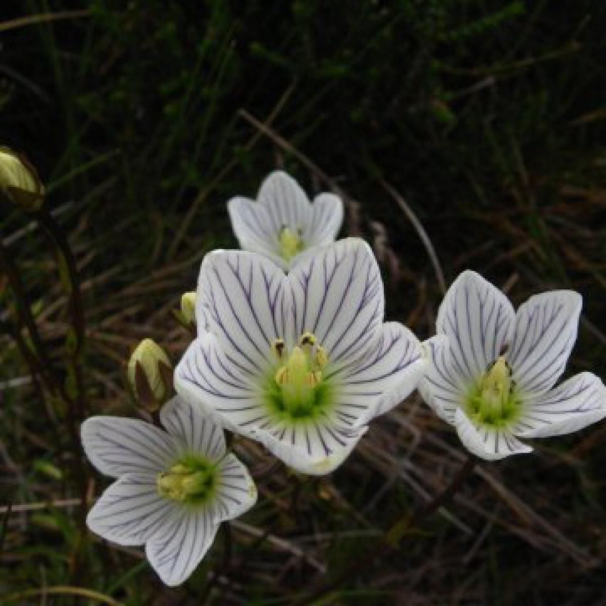 Alpine Gentian (Chionogentias muelleriana)
