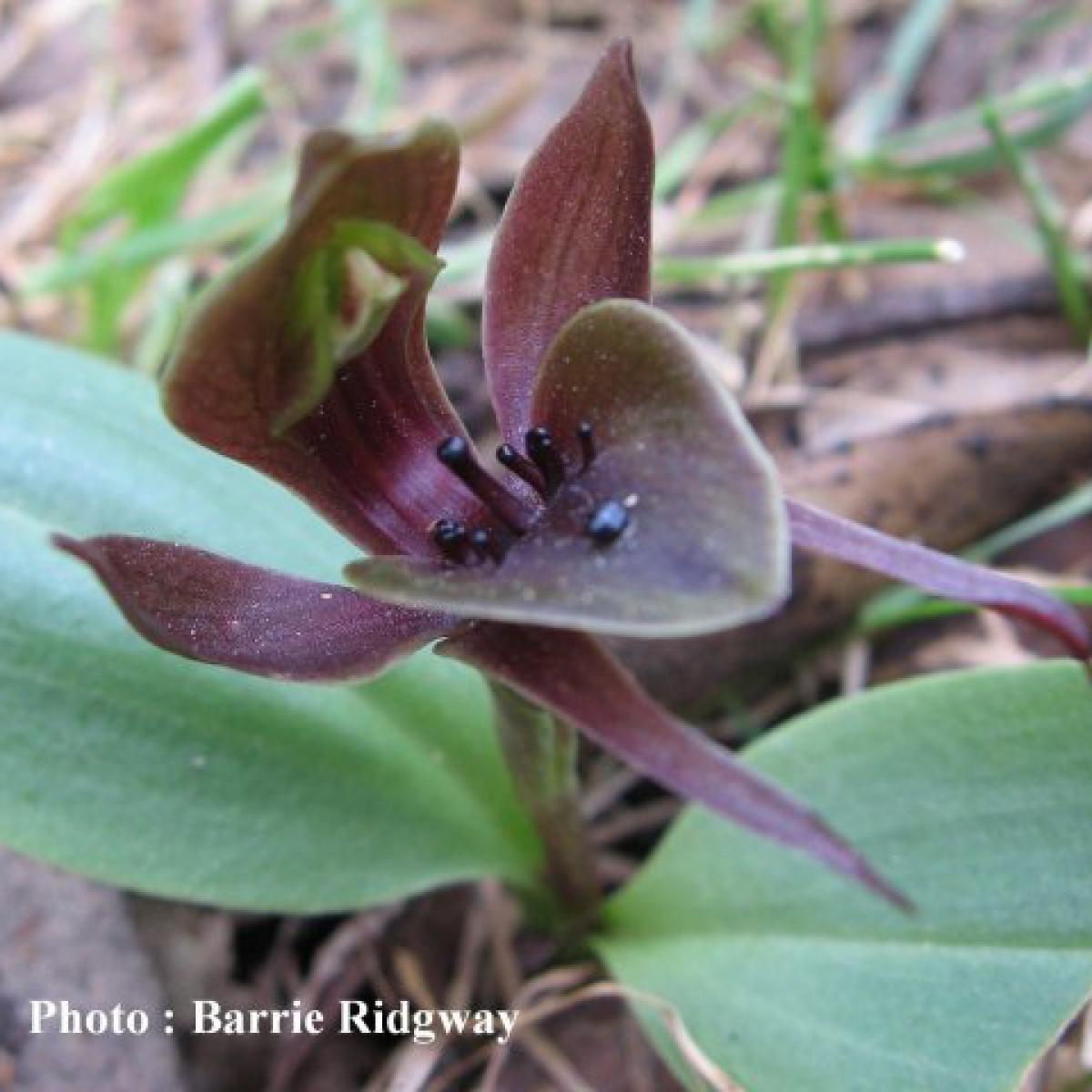 Bird orchid (Simpliglottis valida)