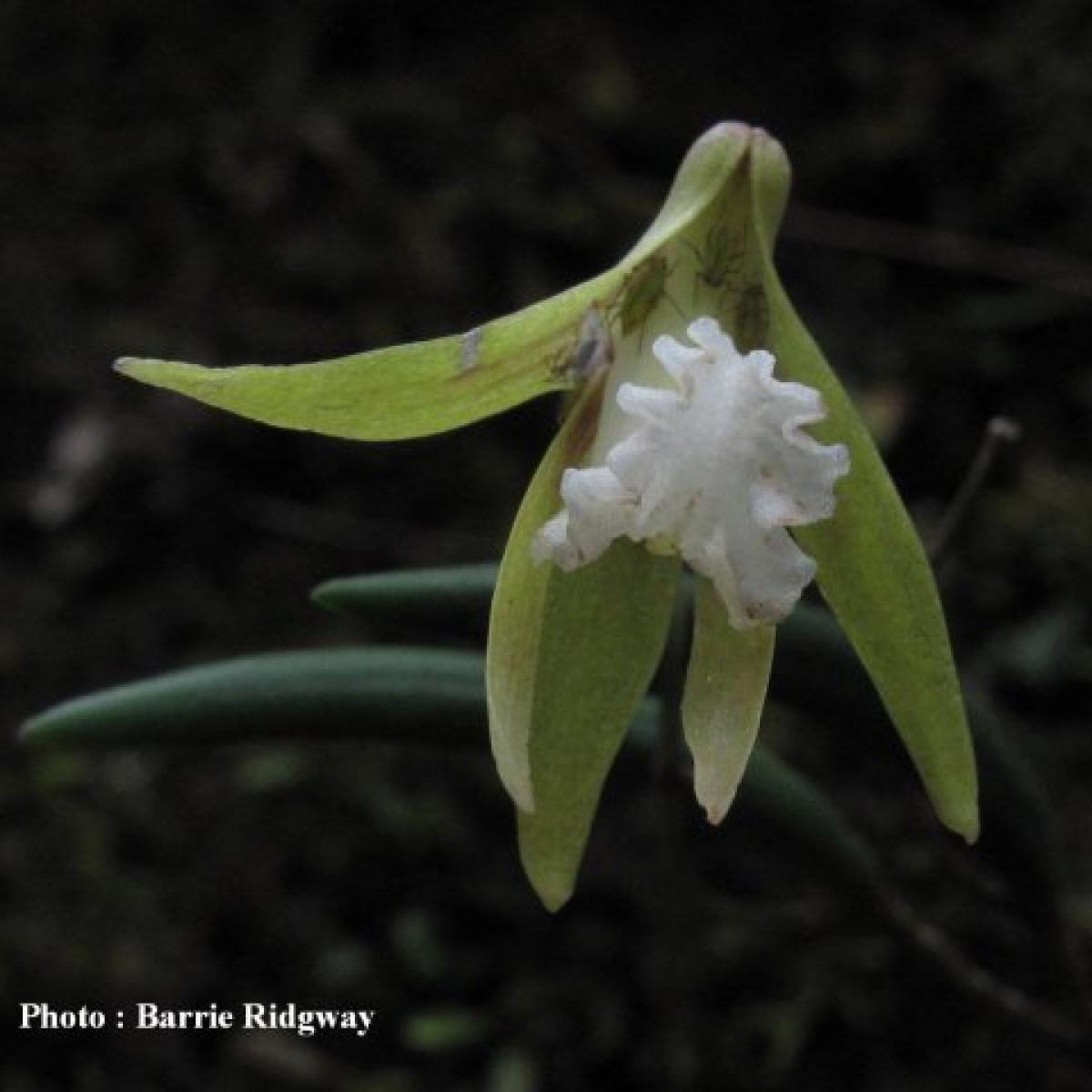 Dockrilia striolata orchid