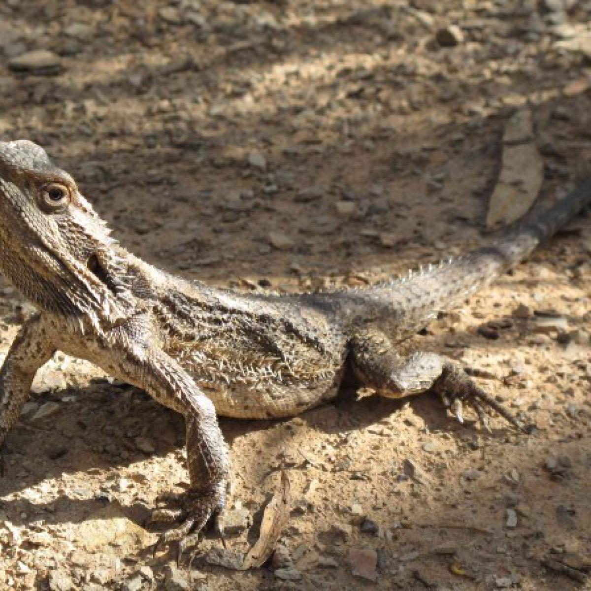 Common Bearded Dragon (Pogona barbata)