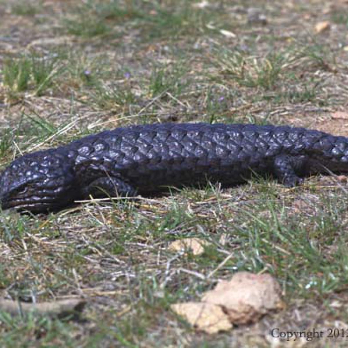 Shingleback - Goorooyarroo Nature Reserve (ACT)