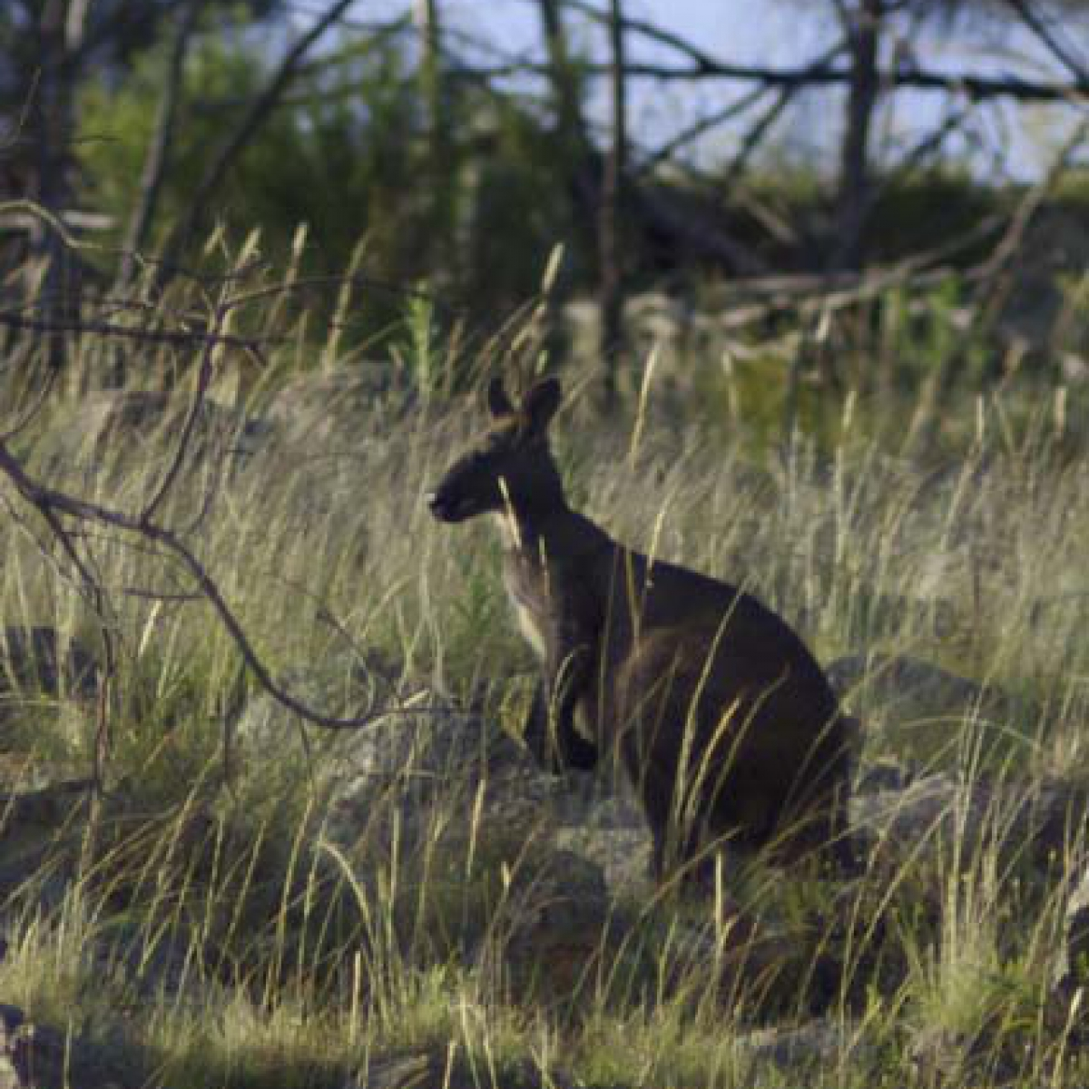 Eastern Walleroo - Mount Tuggeranong, January 2012
