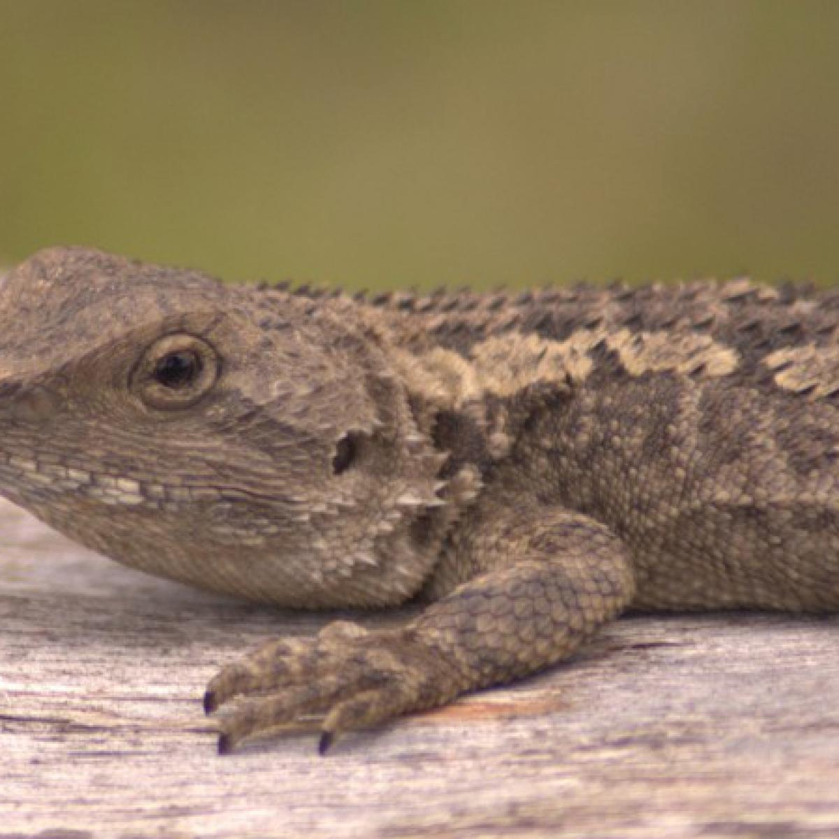 Tree Dragon or Jacky Lizard (Amphibolurus muricatus)