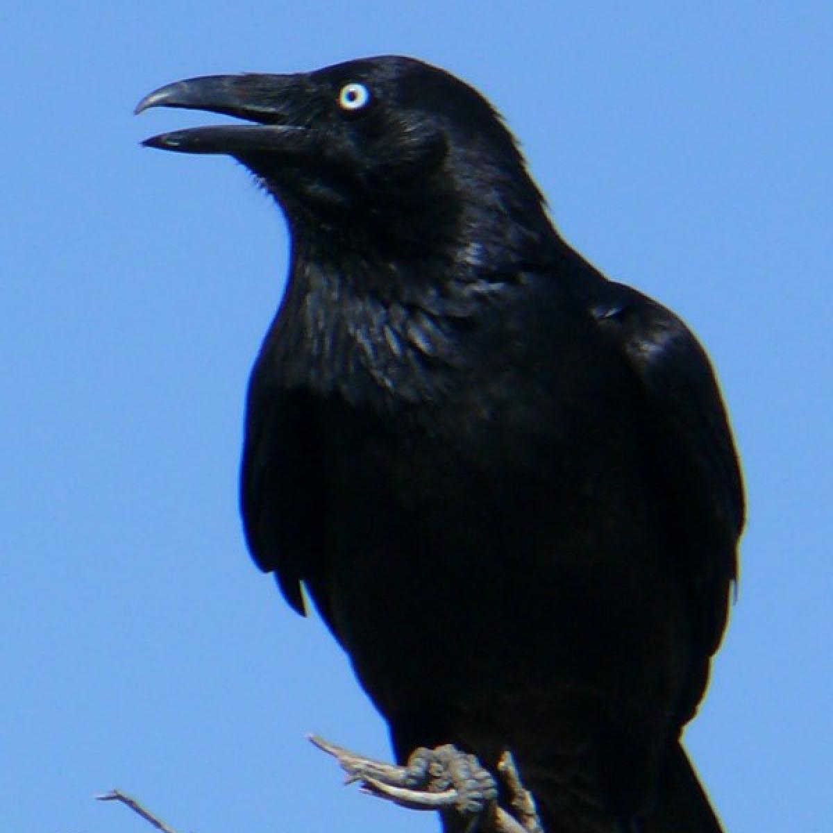 808 Australian Raven