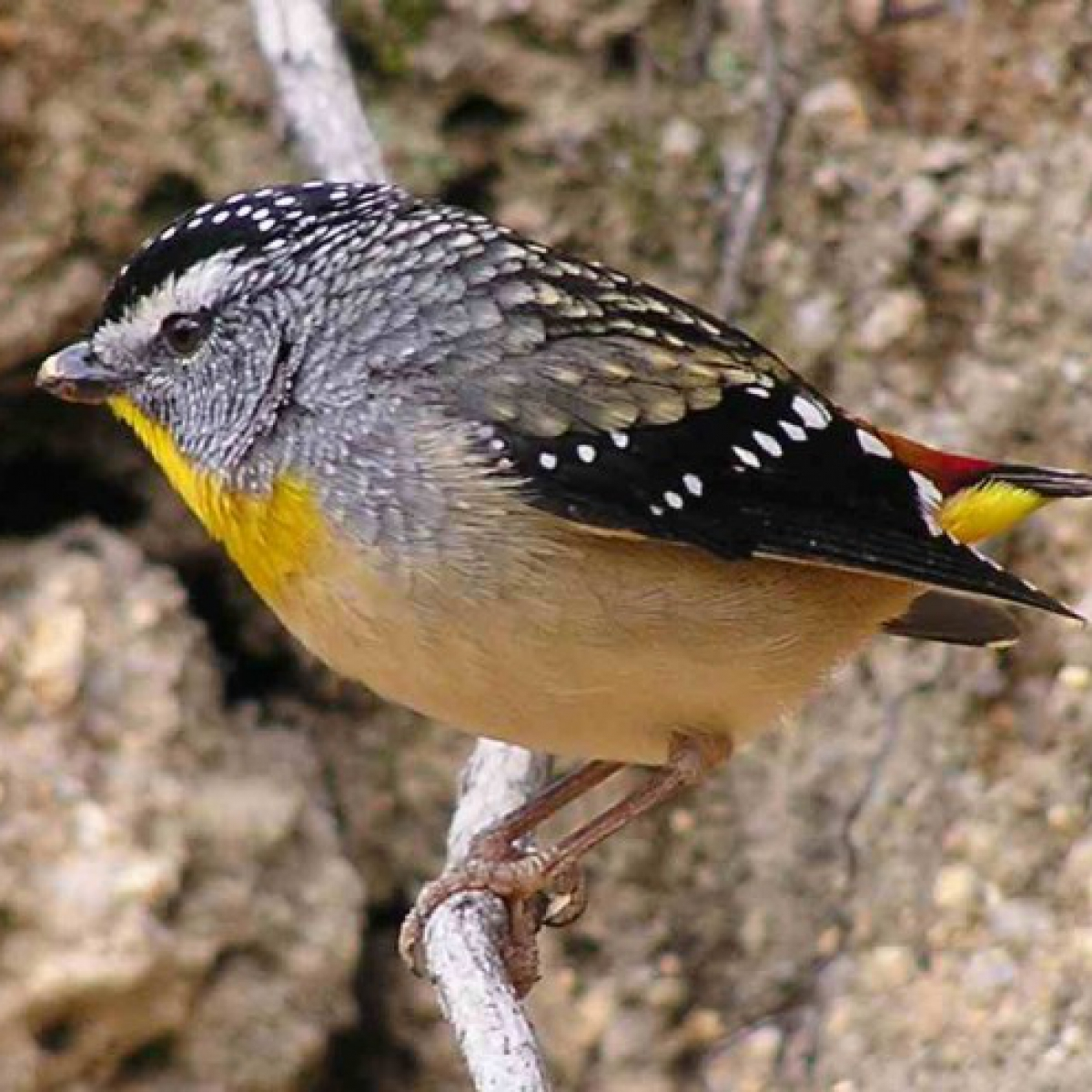 707 Spotted Pardalote