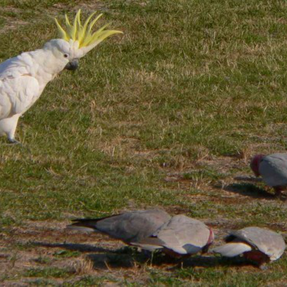 443 Sulphur-crested Cockatoo and Galahs