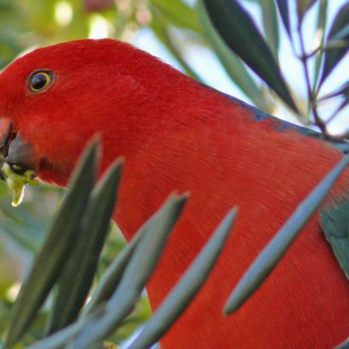 446 Australian King-Parrot