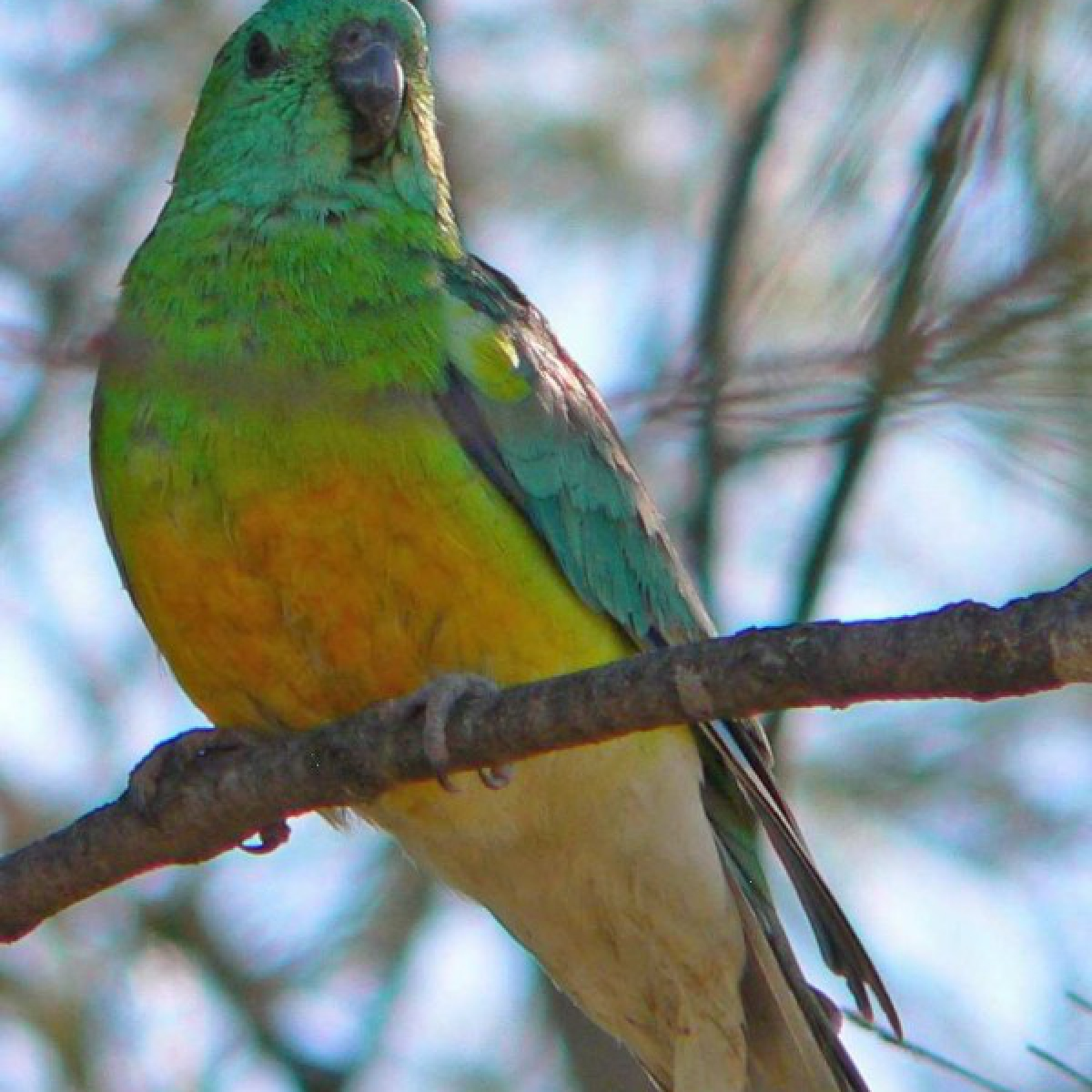 466 Red-rumped Parrot
