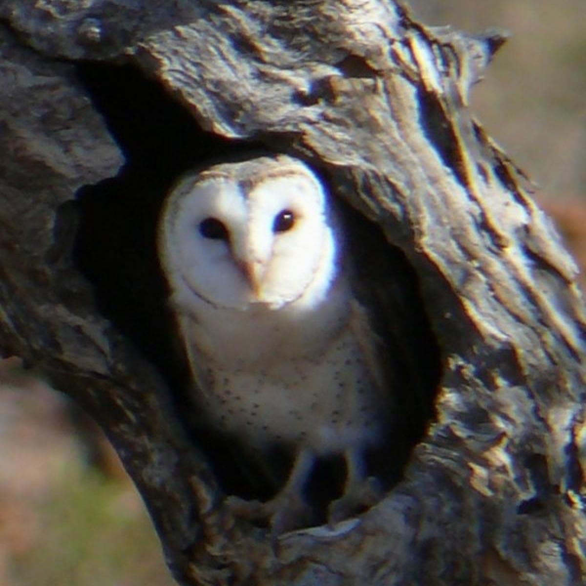 503 Barn Owl
