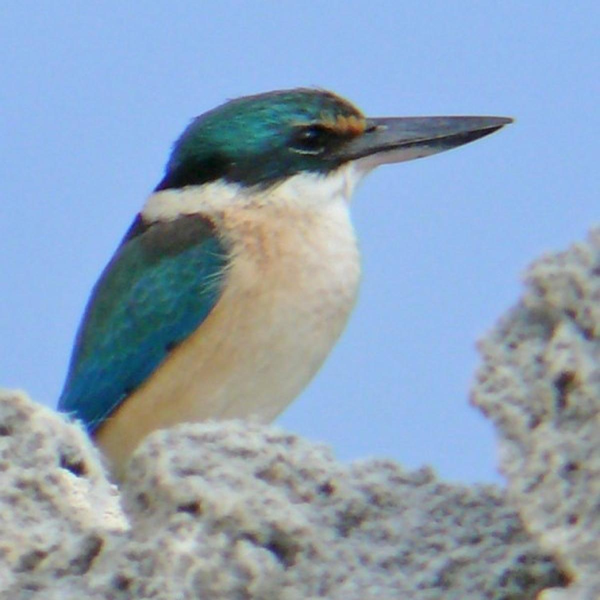 522 Sacred Kingfisher
