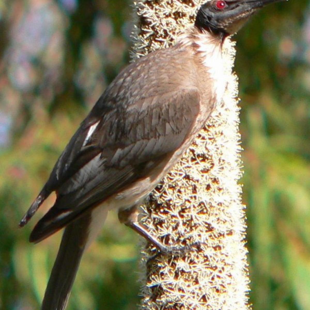 721 Noisy Friarbird