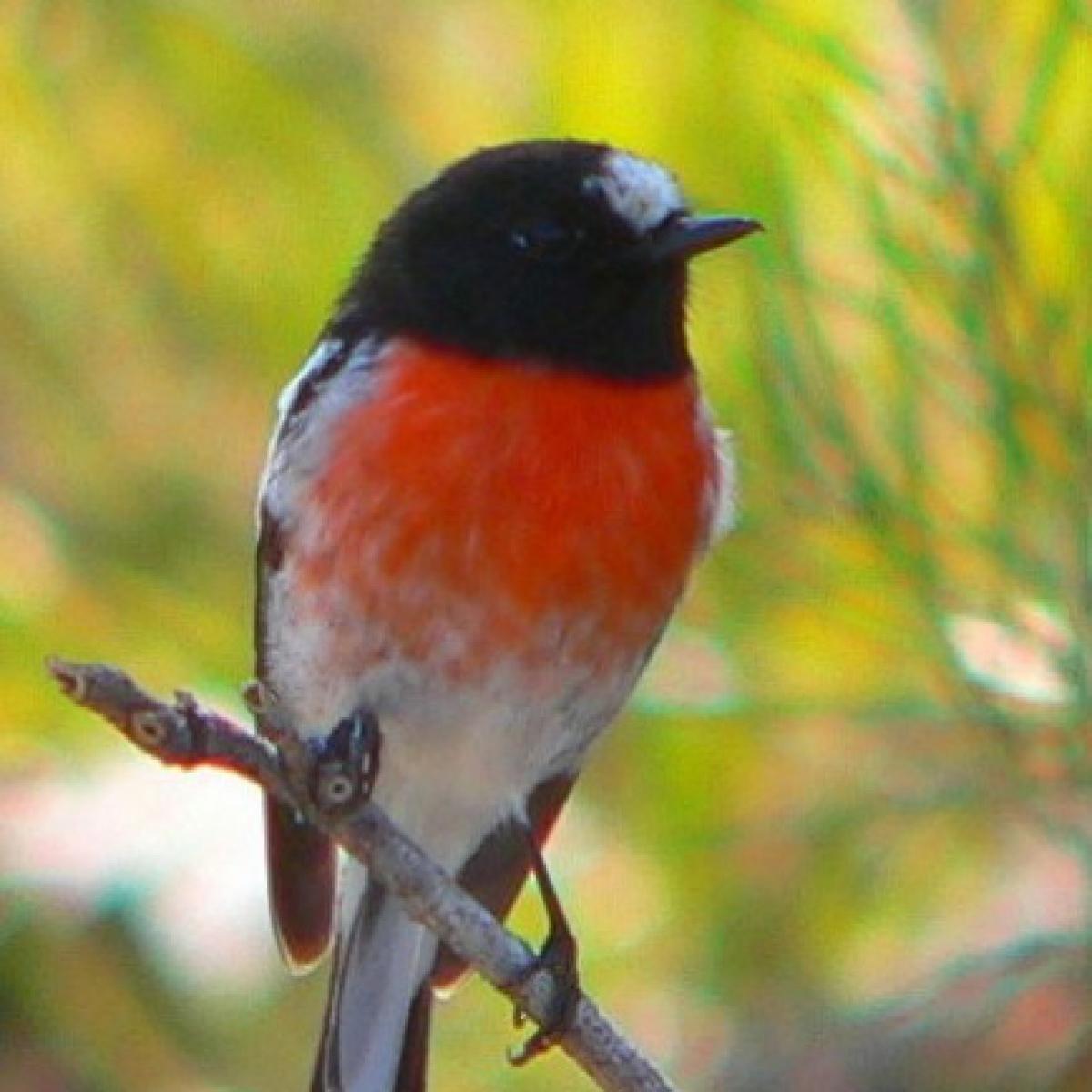 584 Scarlet Robin
