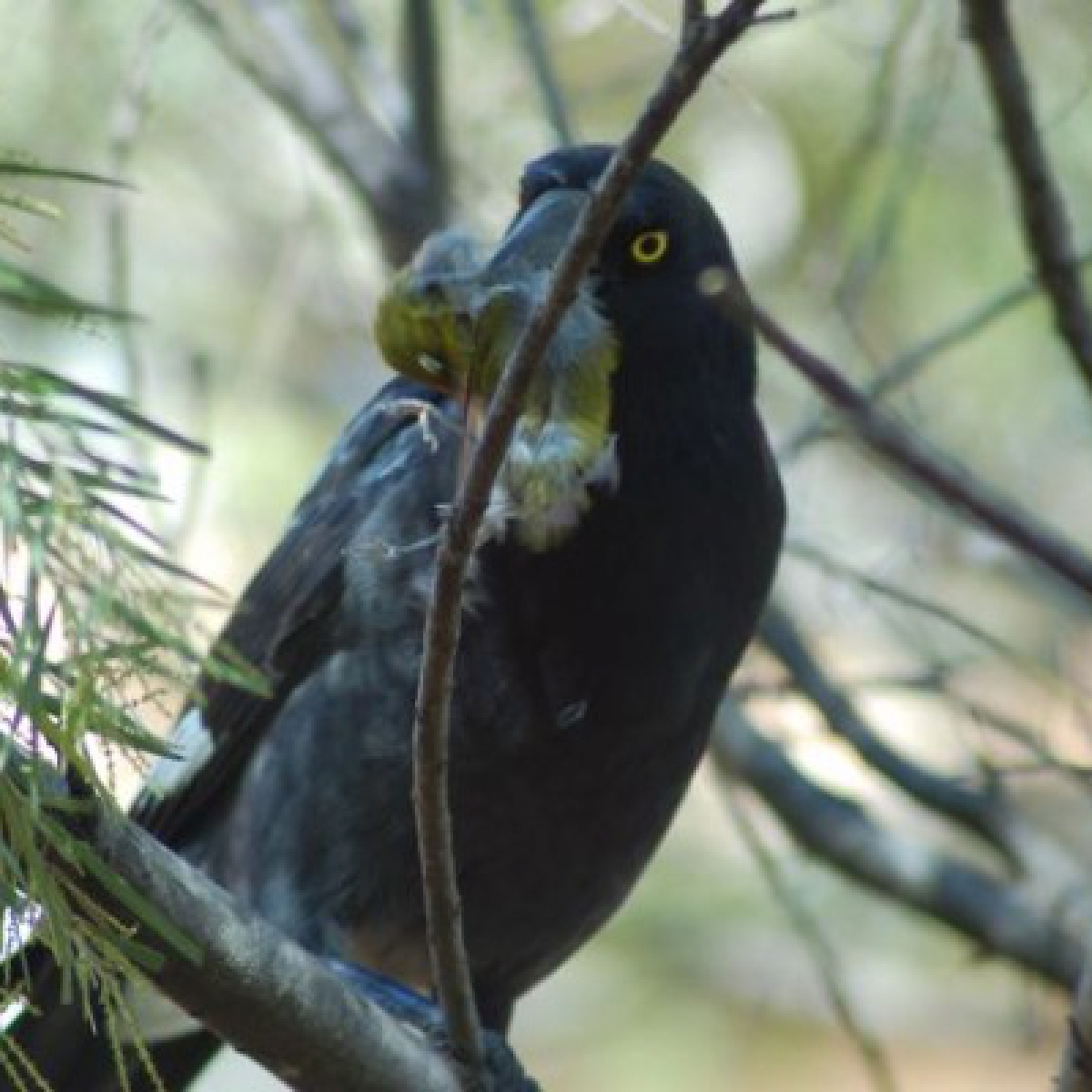 805 Pied Currawong