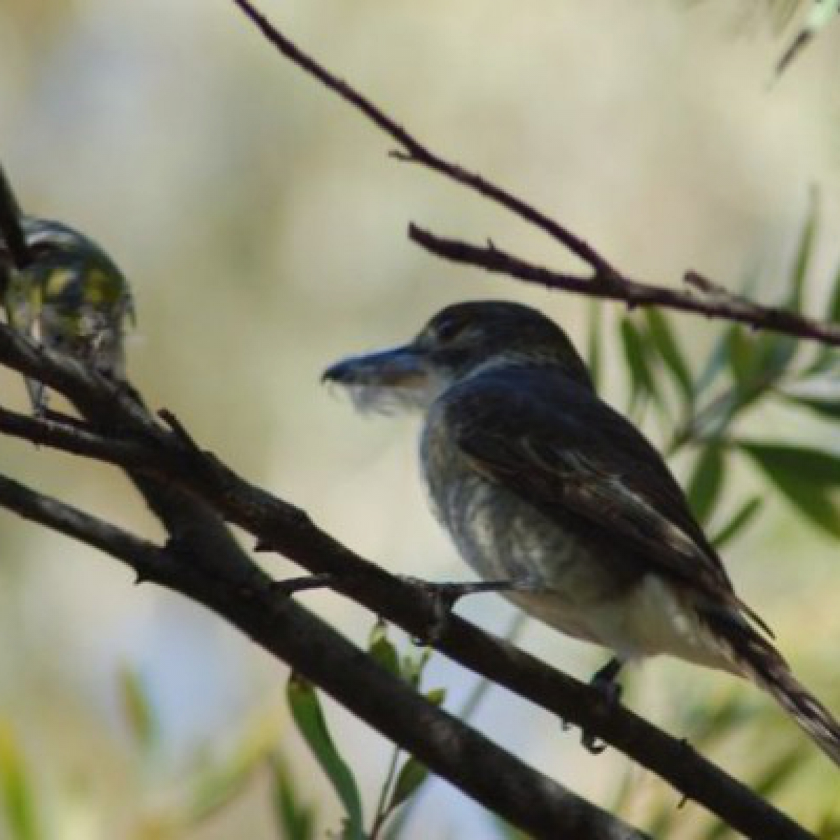 804 Grey Butcherbird (young)