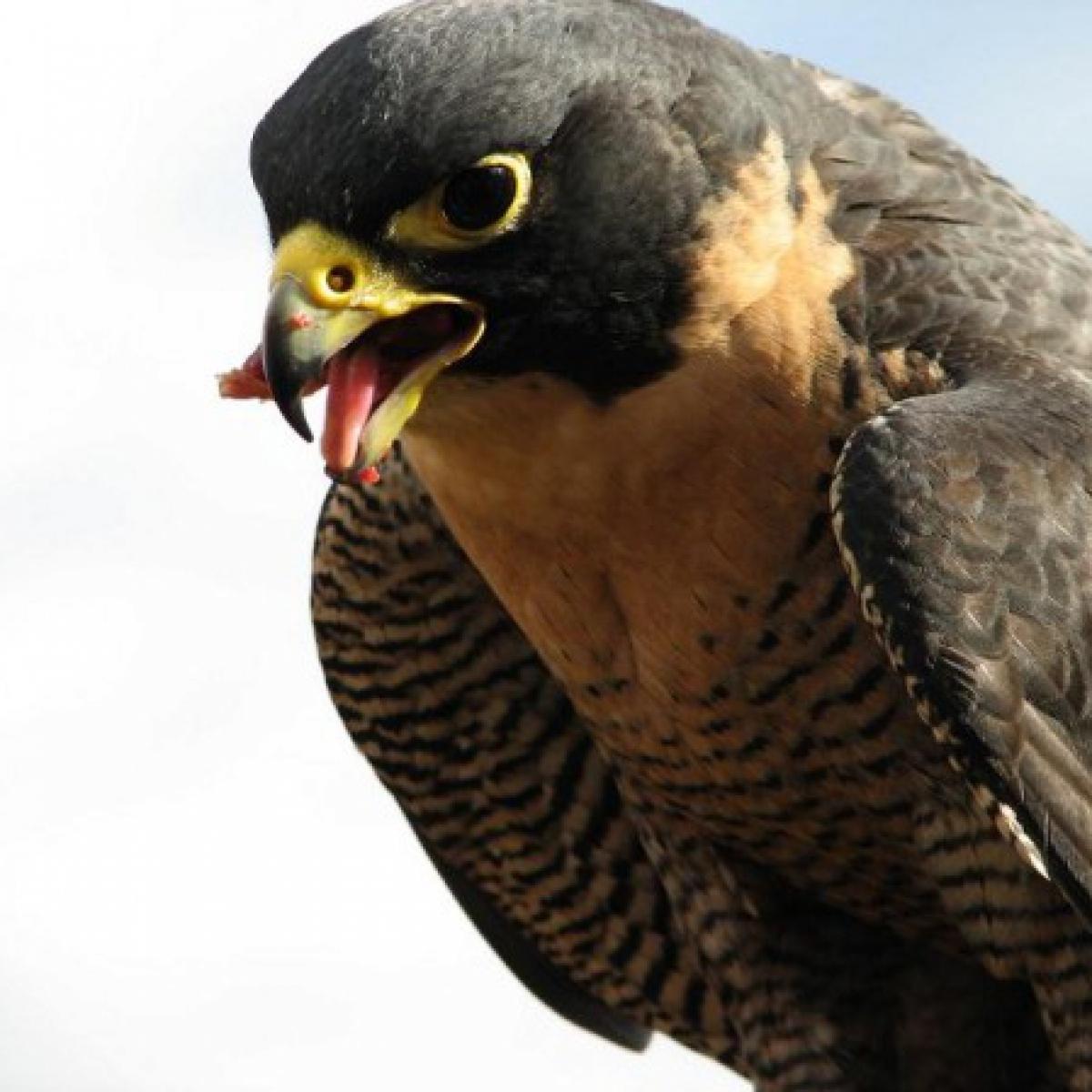 302 Peregrine Falcon