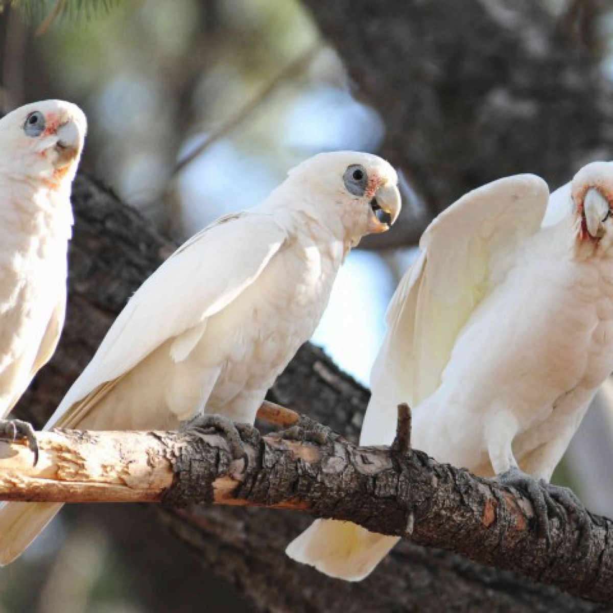 831 Little Corella