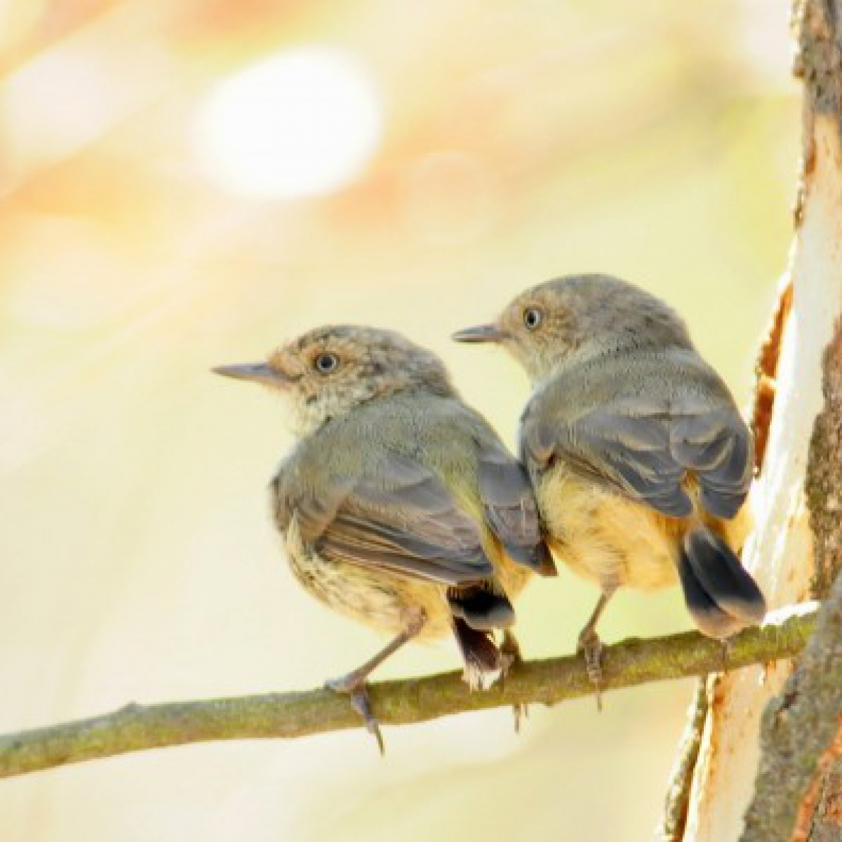 682 Buff-rumped Thornbill
