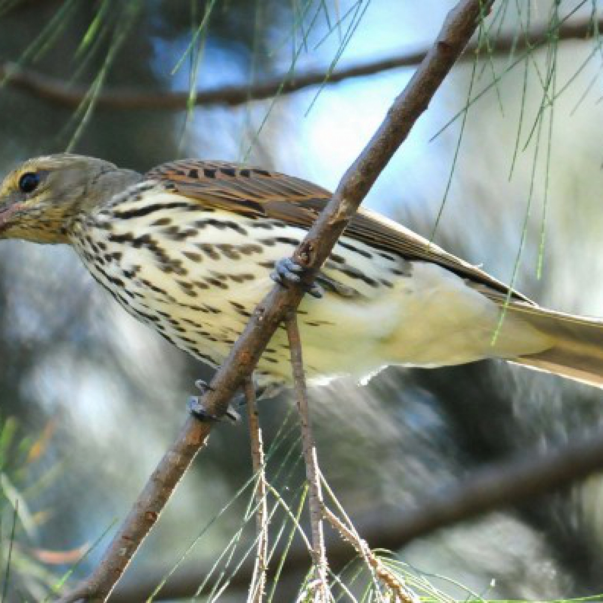 783 Olive-backed Oriole