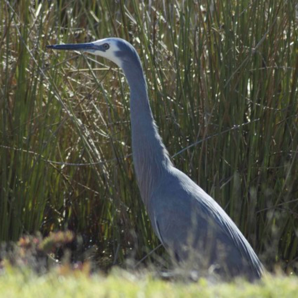 202 White-faced Heron