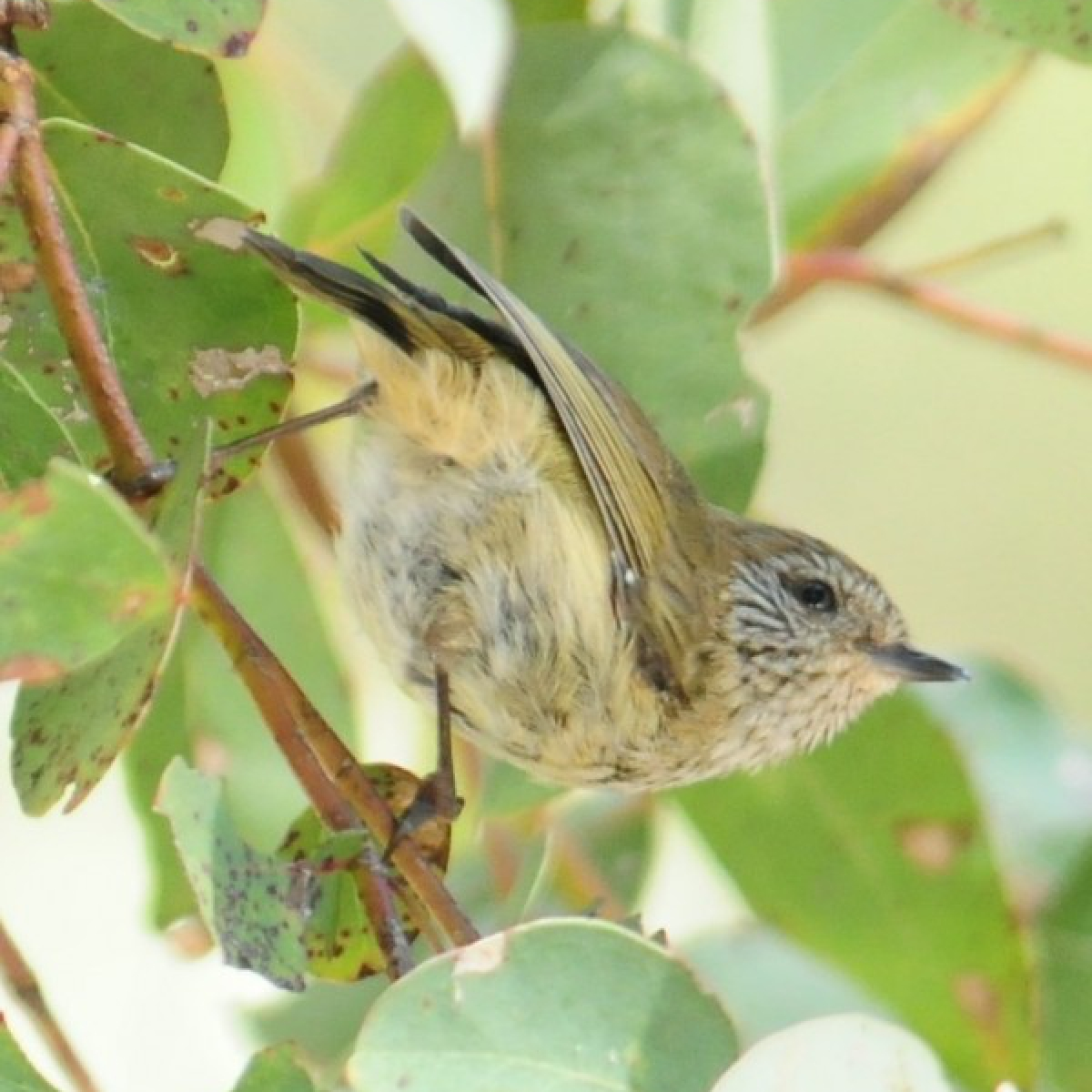 685 Striated Thornbill