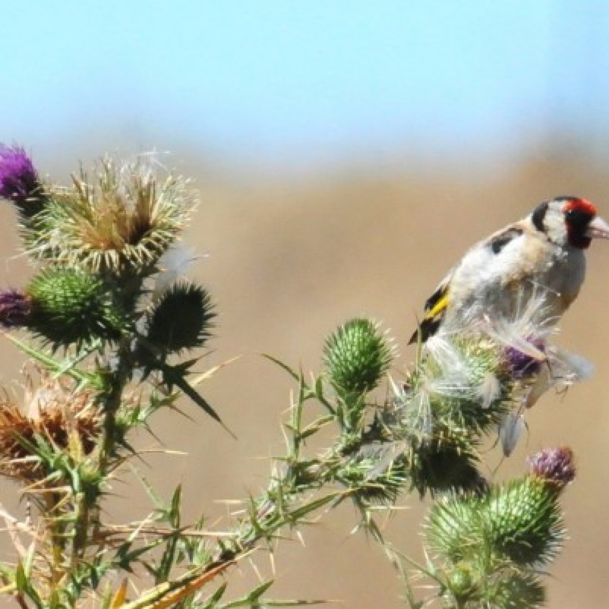 761 European Goldfinch
