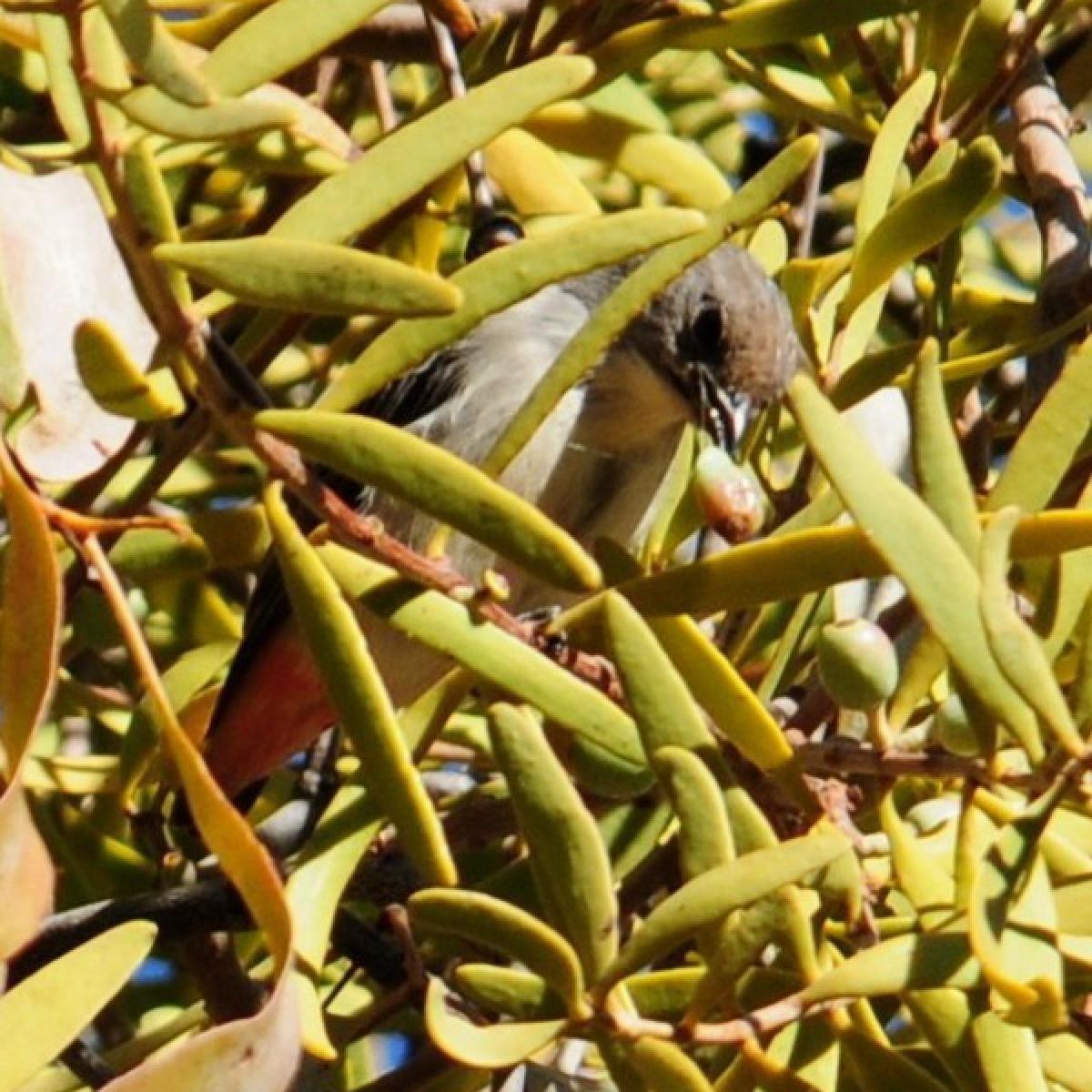 705 Mistletoebird