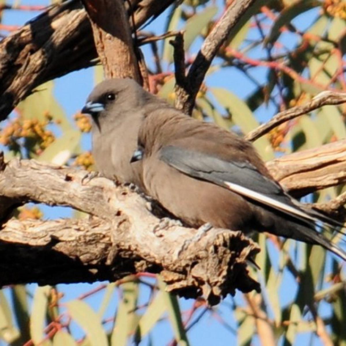 787 Dusky Woodswallow