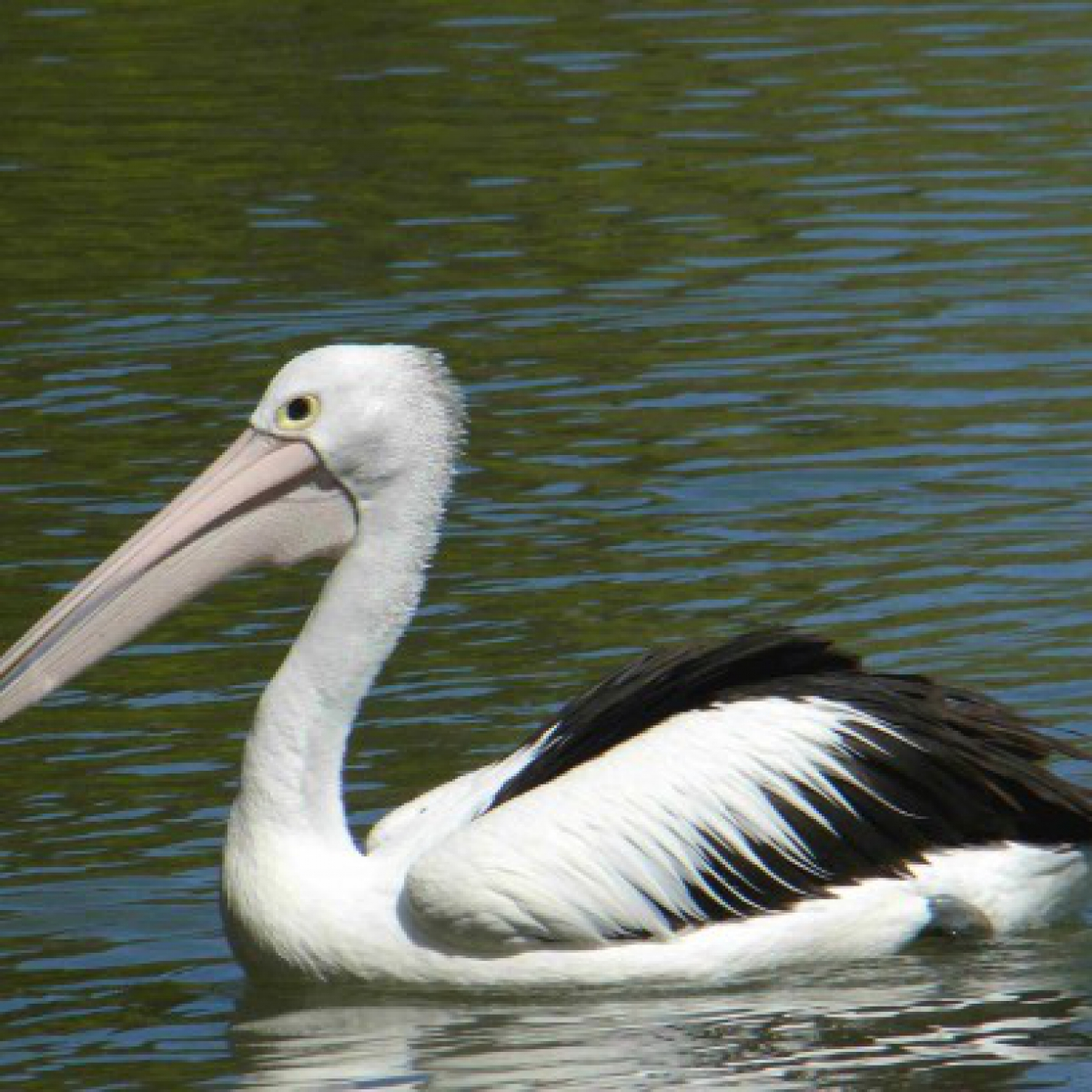187 Australian Pelican