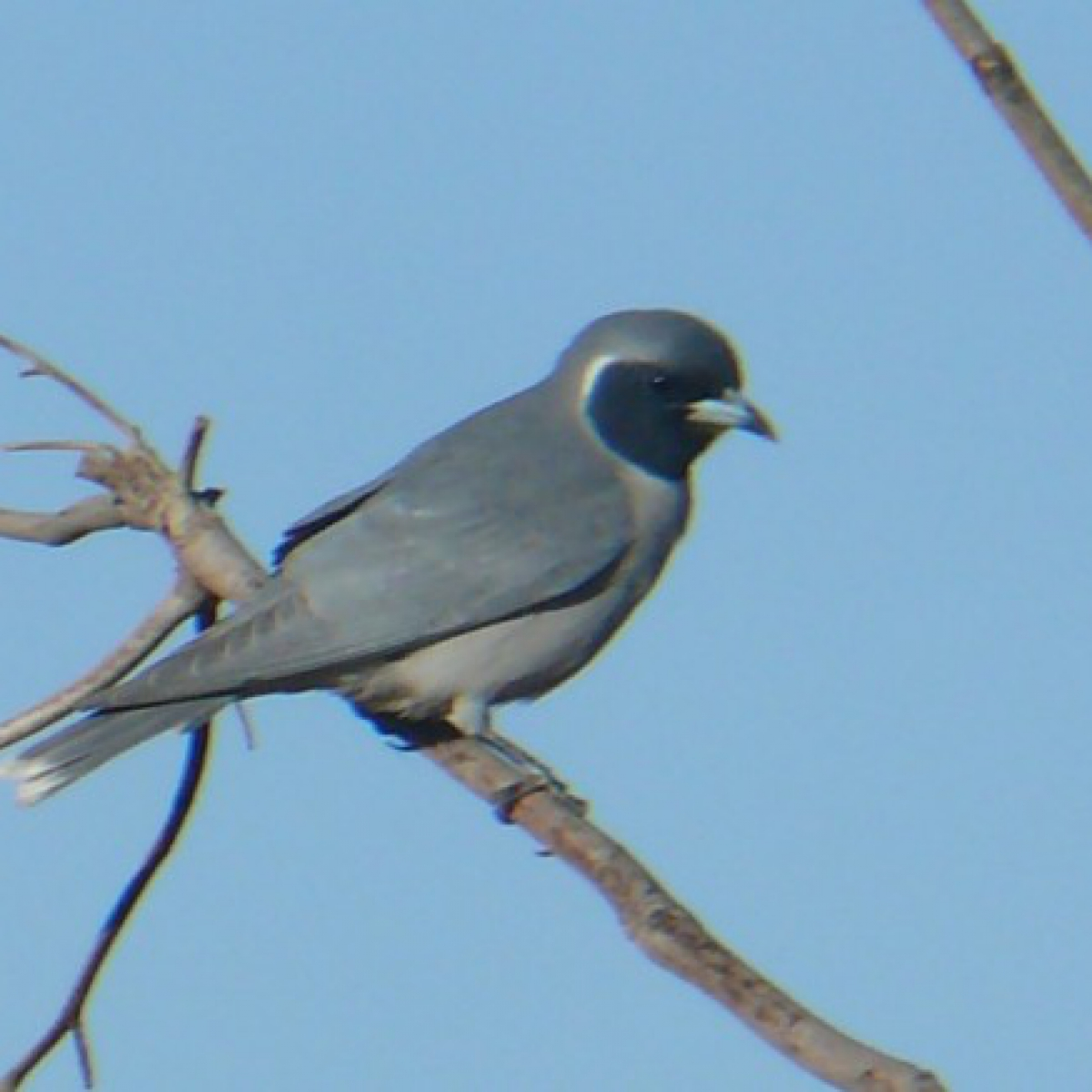 785 Masked Woodswallow