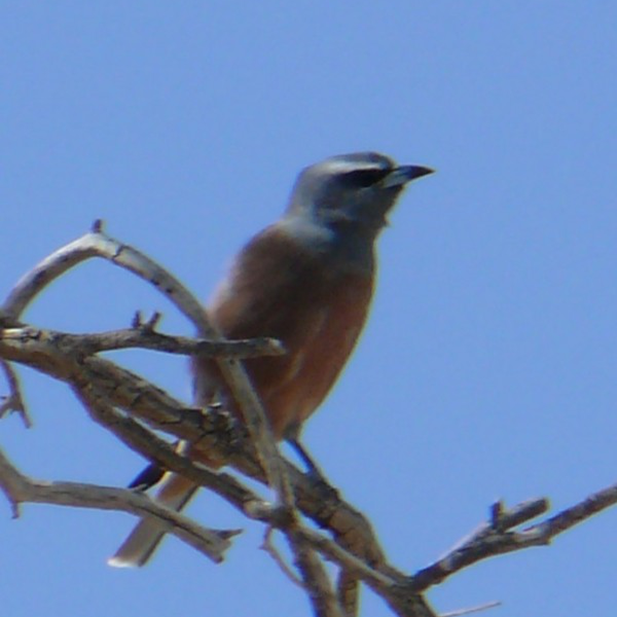 786 White-browed Woodswallow