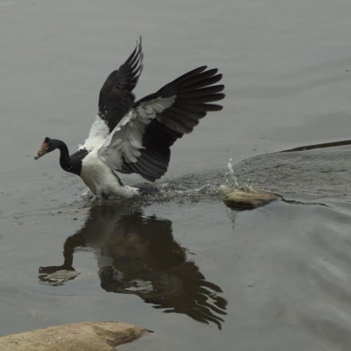 832 Magpie Goose
