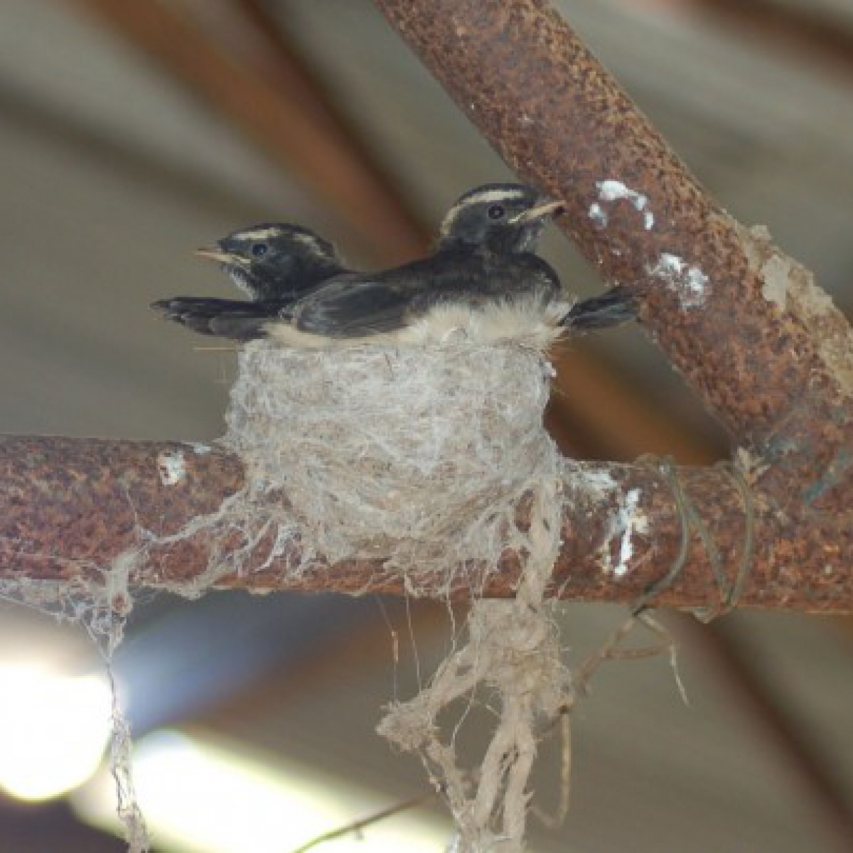 624 Willie Wagtail chicks on nest