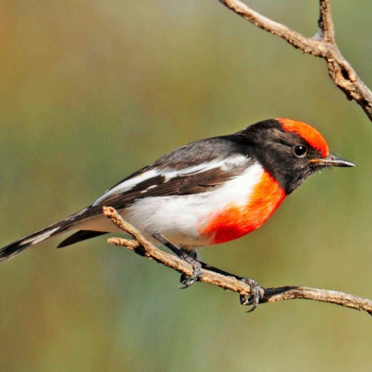 585 Red-capped Robin