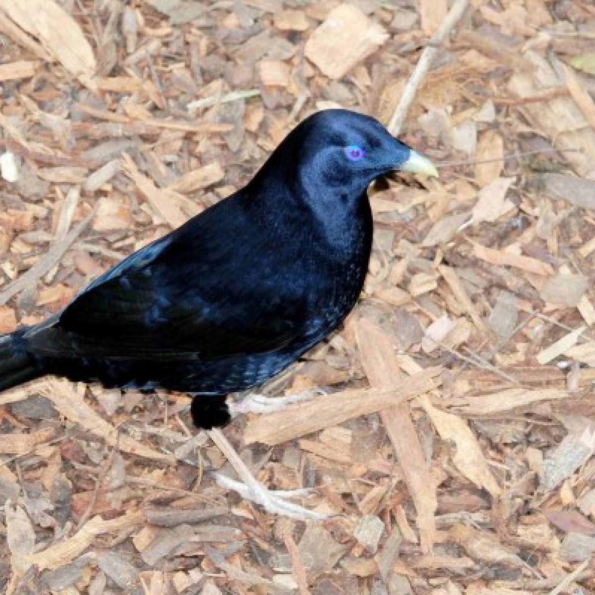 784 Satin Bowerbird