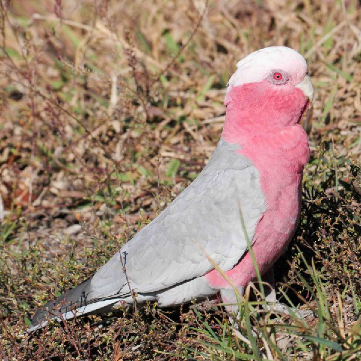 444 Galah (female)