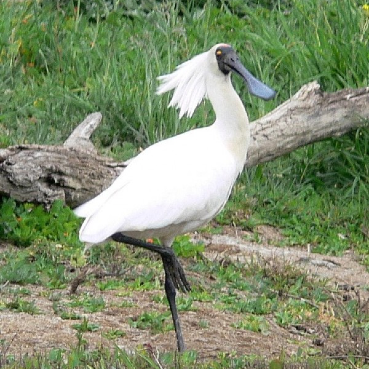 226 Royal Spoonbill