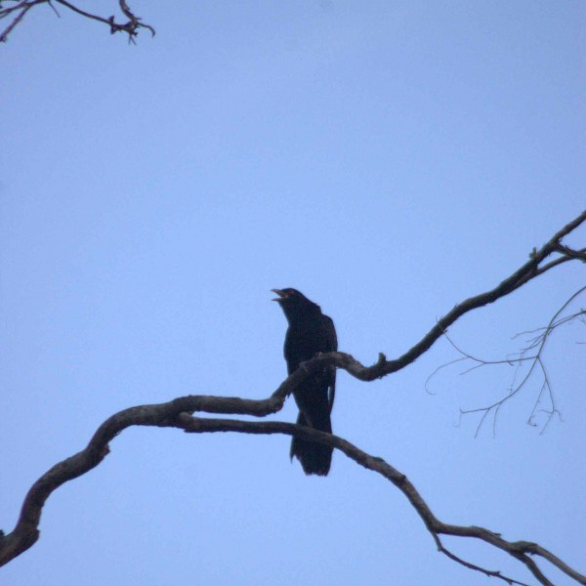 486 Common Koel