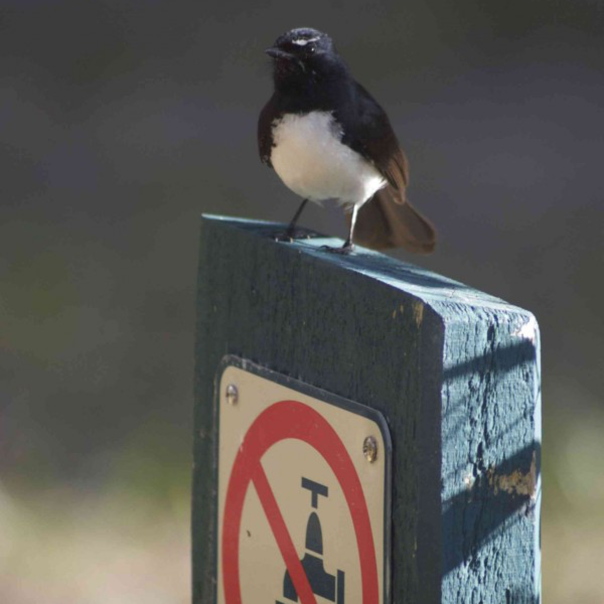 624 Willie Wagtail