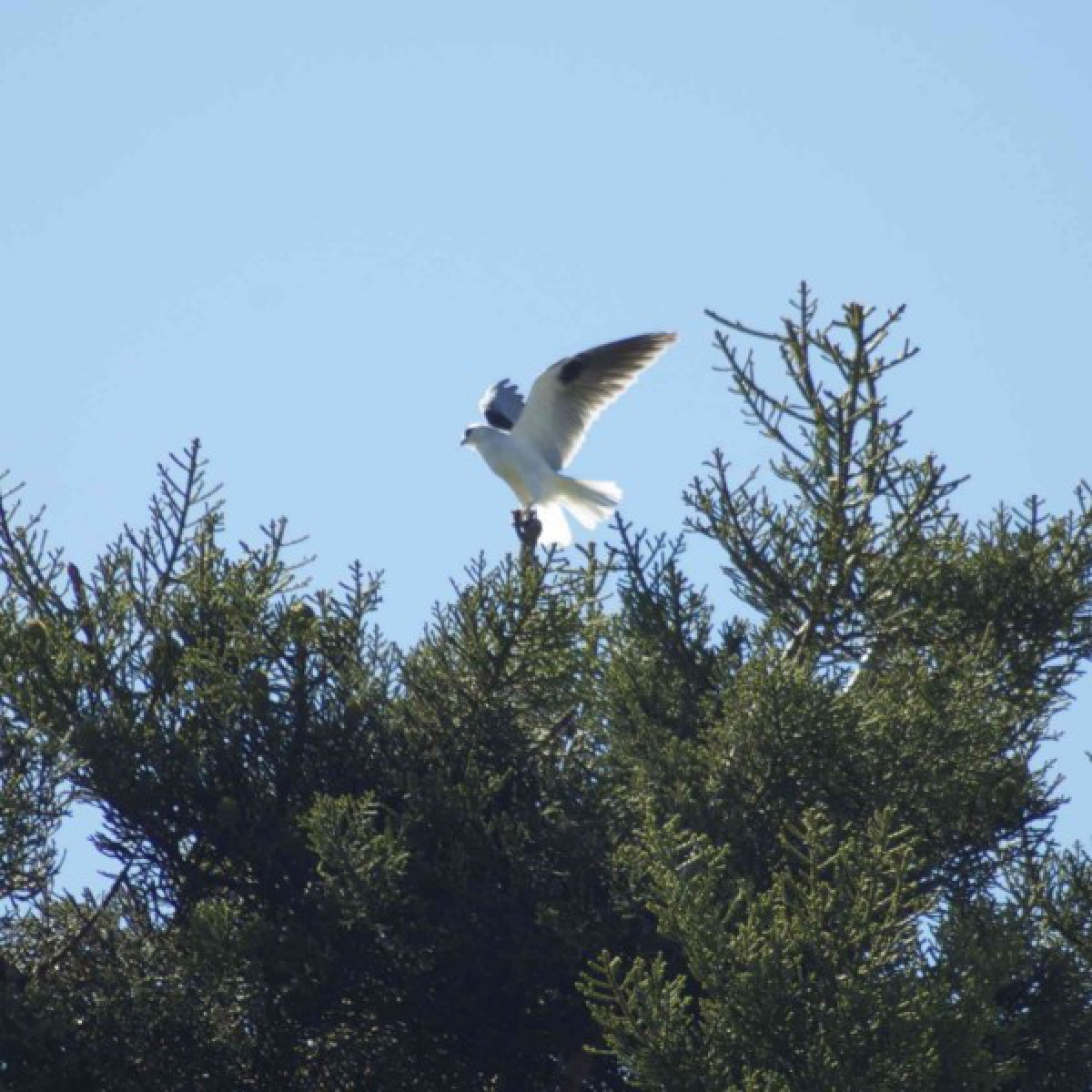 281 Black-shouldered Kite